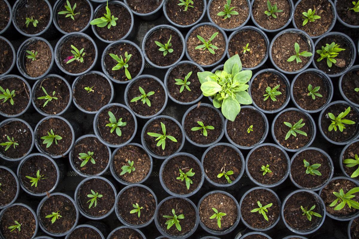 large-basil-plant-among-many-seedlings